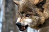 Озверели от глад и студ! Вълци нападат домашни животни в Джерман, лисици плъзнаха по улиците на Крайни дол