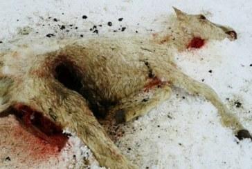 ГЛЕДКАТА Е ПОТРЕСАВАЩА! ВЪВ ФИЛМ НА УЖАСИТЕ ЛИ СМЕ! Коне умират от глад в Осоговска планина /Снимки 18+/