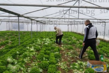 Лошото време удари производителите на зелена салата в Петричко и Санданско, изхвърлят реколтата заради смешна цена от 0,08 лв. за маруля