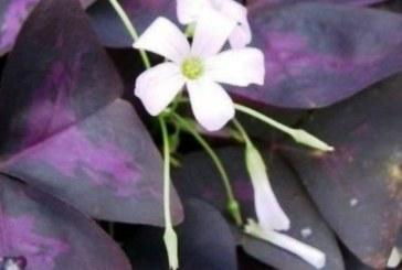 Вкарайте това лесно за отглеждане цвете в дома си и се абонирайте за късмет