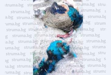 Зверство в Джигурово, стопанин намери индийските си пауни с отскубнати от човешка ръка глави