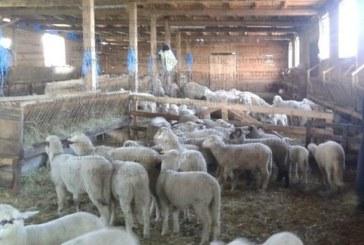 ВЕЛИКДЕНСКА БОРСА! Животновъди и прекупвачи в Разложко се надцакват с цени на агнешкото от 4 до 6 лв. за кило
