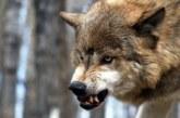 Фемер се натъкна на покъртителна гледка! Вълци удушиха цялото му стадо, труповете оглозгани до кокал