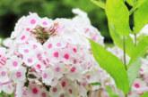 Спасението от комарите се крие в тези цветя, от които бягат като дявол от тамян