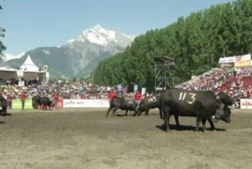 Над 100 крави в напрегнато съревнование за титла