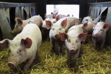 Под заплахата от яки глоби! Бившият висаджия Дракона и съдружникът му изклаха 40 прасета и приключиха с фермерството