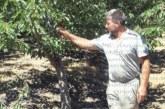 Диви прасета се превърнаха в природно бедствие за черешовите масиви в Кюстендилско, не ги плашат  дори газовите оръдия