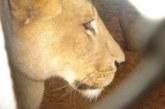 Лъвица избяга от клетката си в зоопарк