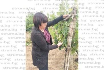 Градушка колкото череша попиля реколтата в Благоевградско