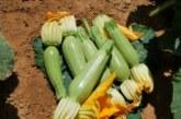 Прекупвачите ги разориха! Зеленчукопроизводители от Санданско зарязват продукцията на полето