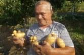 Картофи гиганти и с причудливи фигури добиха ортаци в двор в Кресна