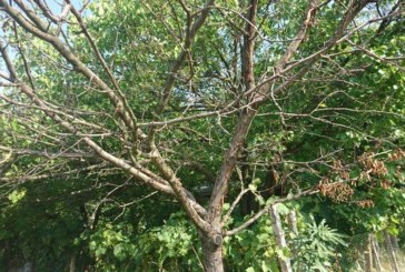 Заради горещата есен миналата година овощните градини по поречието на Струма в Санданско останаха без плод, дръвчетата съхнат