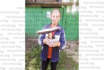 Безработен откъсна печурка гигант с диаметър 30 см край дупнишко село и покани приятел на мъжки купон