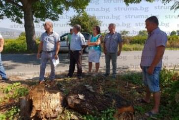 Кметове от Подгорието с подписка искат изсичането на 120 опасни дървета по пътя Петрич-Първомай