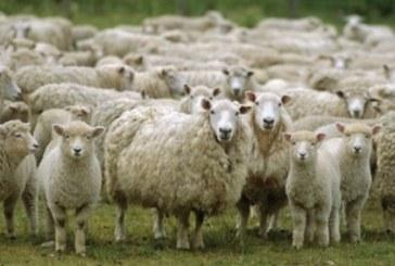 Гръм уби цяло стадо овце
