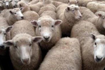 Заради чумата ветеринари и полиция опразниха животинския пазар в Сандански