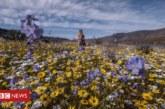 Цветя покриха пустиня в Южна Африка