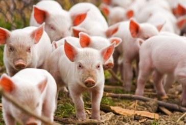 Няма огнище на африканска чума по свинете у нас