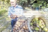 Орехи колкото електрически крушки набра 85-г. П. Томанов от Кресна, дръвчето засадил лично преди 55 г.
