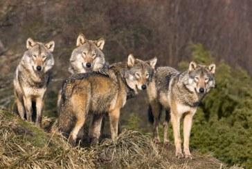 Глутници вълци нападат стадата в благоевградско село
