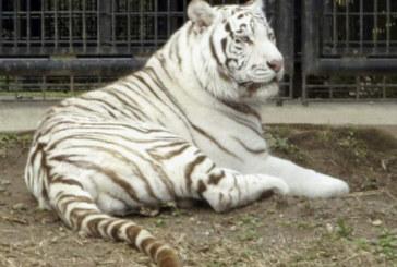 Тигър прегриза гърлото на работник в зоопарк и го уби