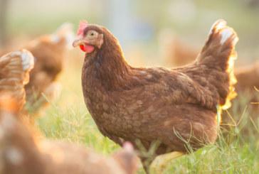 Откриха инфлуенца по птиците в Хасковско