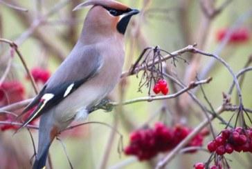 Пияни птици нападат жители на щата Минесота