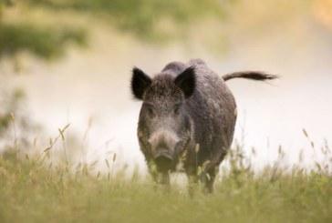 Първи случай на африканска чума по дива свиня в България