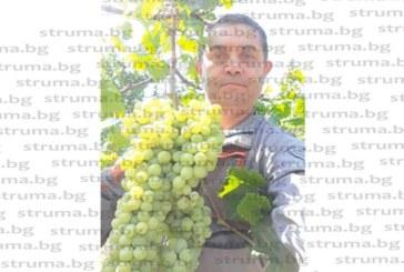 ЧСИ Г. Самарджиев откъсна грозд гигант на лозето си в Благоевград