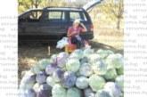 В сезона на киселото зеле! Богата реколта в Югозапада, производители съветват: Когато купувате, гледайте кочанът да е бял и твърд