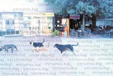 След 48 часа дебнене служители на приюта изловиха глутница бездомни кучета, нападнали 60-г. благоевградчанка пред банята