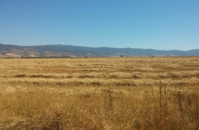 Заради сушата реколтата от пшеница в Дупнишко догодина под въпрос