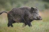 """Белгия разследва """"военна връзка"""" в разпространението на африканска чума по свинете"""