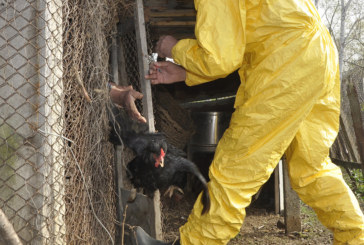 26 потвърдени огнища на Инфлуенца по птиците у нас