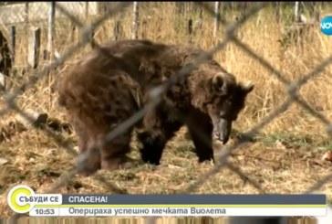 Оперираха успешно мечката Виола  от парка в Белица