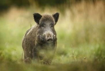 Първи случай на Африканска чума по свинете в Добричко