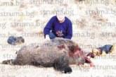 """Корифеят на ловците в Брежани Кипро Кипров повали """"Звяра на Пирин"""" с 28 см глиги и 226 кг"""