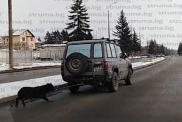 Влачиха куче, вързано за джип в Перник