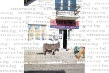 ДОБРА ПОЛИЧБА! Единственото магаре в Бобошево – Тошка, първият клиент за 2019 г. на местен хранителен магазин