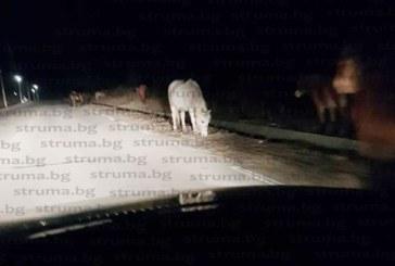 Опасен път! Коне скачат върху автомобили, чупят стъкла и мачкат ламарини