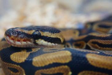 Змия пропътува 15 000 километра в обувка