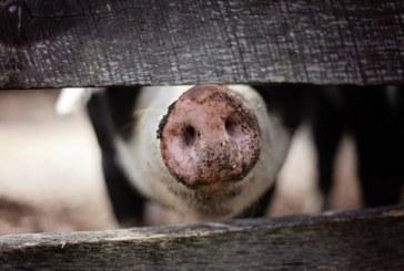 Набелязаха мерки срещу африканската чума по свинете