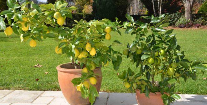 Как да отгледаме лимон от семка в домашни условия
