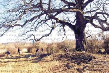 """Туристи от Трън и жители на Рани луг почистиха района около 300-г. дъб, претендент за """"Европейско дърво на годината"""""""