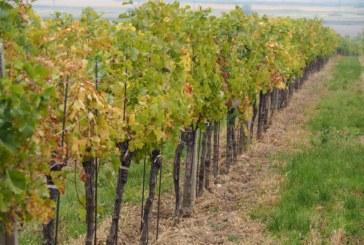 РАЗРАСТВАНЕ НА БИЗНЕСА! Собственик на малка винарна в Петрич купува от общината 12 дка лозя в Дрангово срещу 17 000 лв.