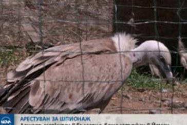 Лешояд, маркиран в България, задържан в Йемен