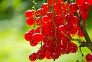 Френското грозде сваля температурата и пази от рак