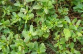 Растение, което бъркаме с плевел, лекува рак