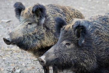 Два нови случая на заразени с чума диви свине