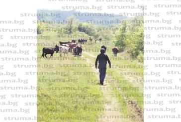 РЕЦИДИВ! Крави на фермера Г. Малинов, пуснати без надзор, унищожават черешови дръвчета и посеви в дупнишкото с. Палатово